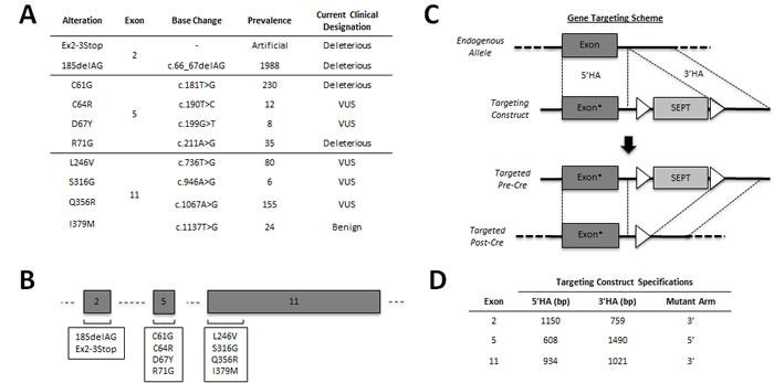Engineering an isogenic BRCA1 panel.