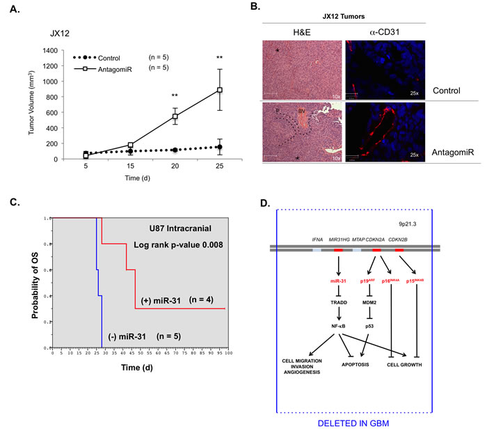 The levels of miR-31 inversely correlate with tumor growth