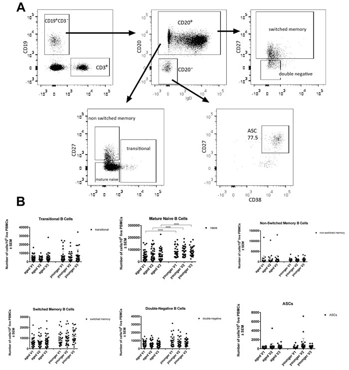 Numbers of circulating B cell subsets: Graphs show the different B cell subsets, i.e.,
