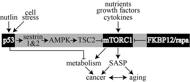 Model that shows rapamycin (rapa) and p53 separately antagonize mTORC1 through two distinct pathways to influence cancer, SASP and metabolism.