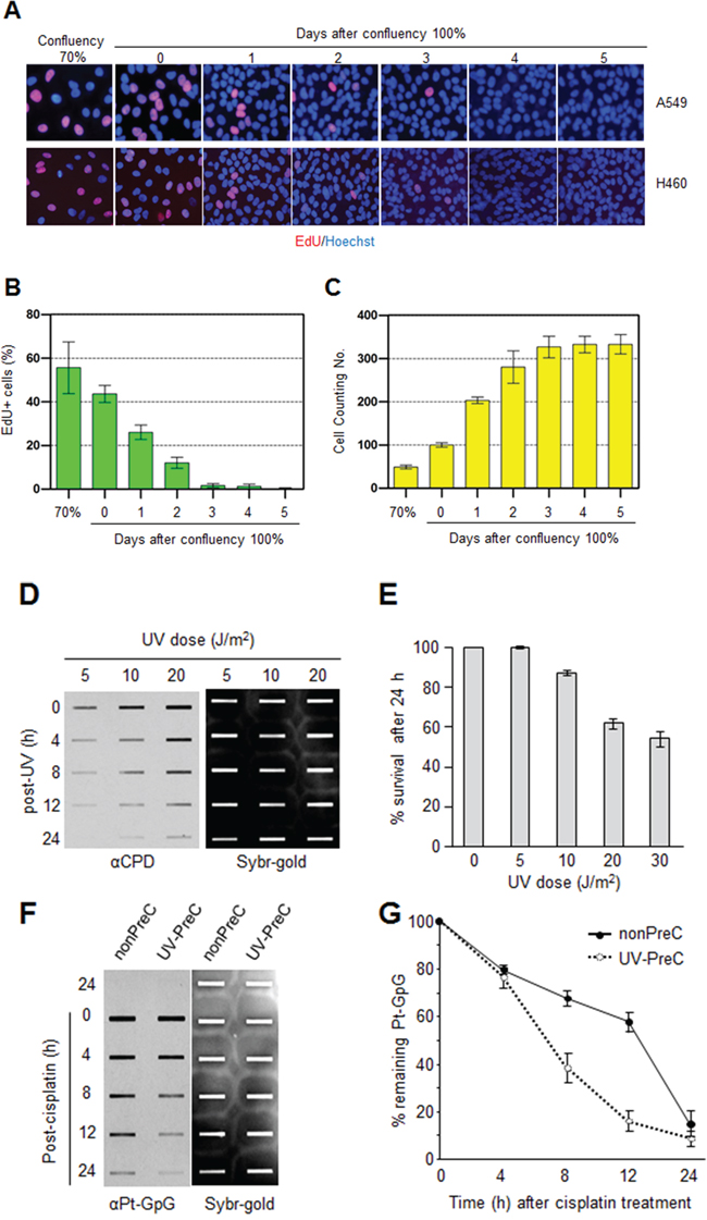 Preconditioning of cells with UV irradiation facilitates subsequent repair of cisplatin-induced damage.