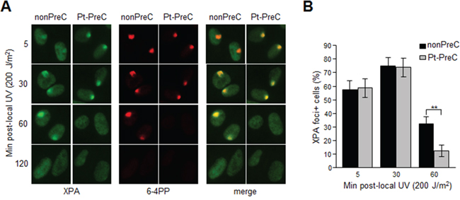 PreC accelerates XPA binding to DNA lesions.