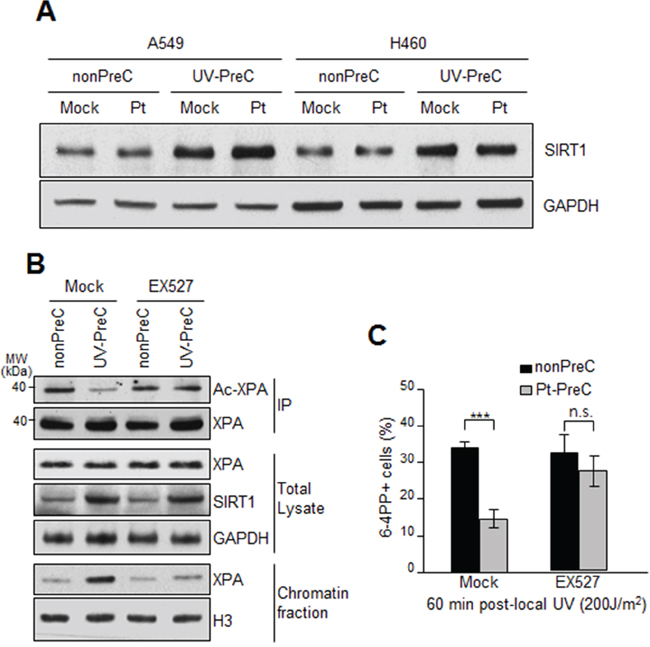 Upregulation of SIRT1 expression during PreC.