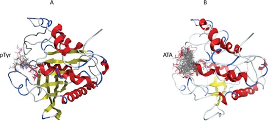 The blind flexible docking of pTyr and ATA molecules into the YopH 3D structure.