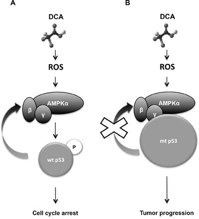 Diagram describing the mechanism of how DCA efficacy depends on p53 status.