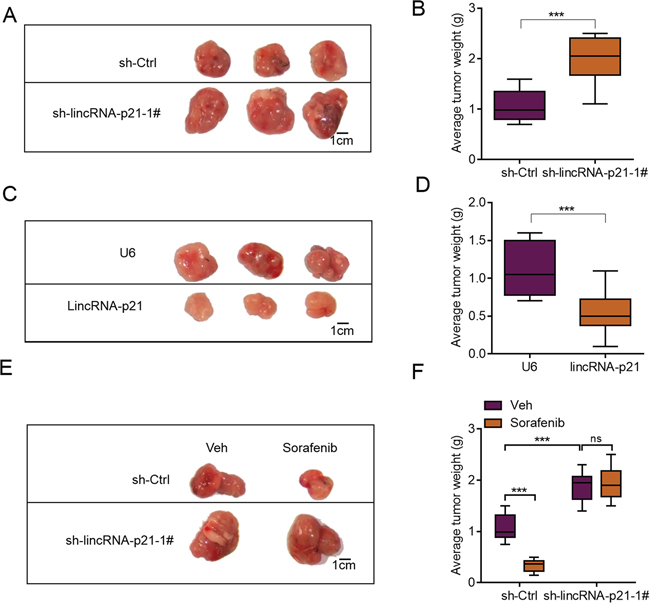 lincRNA-p21 regulates hepatocarcinoma growth in vivo.