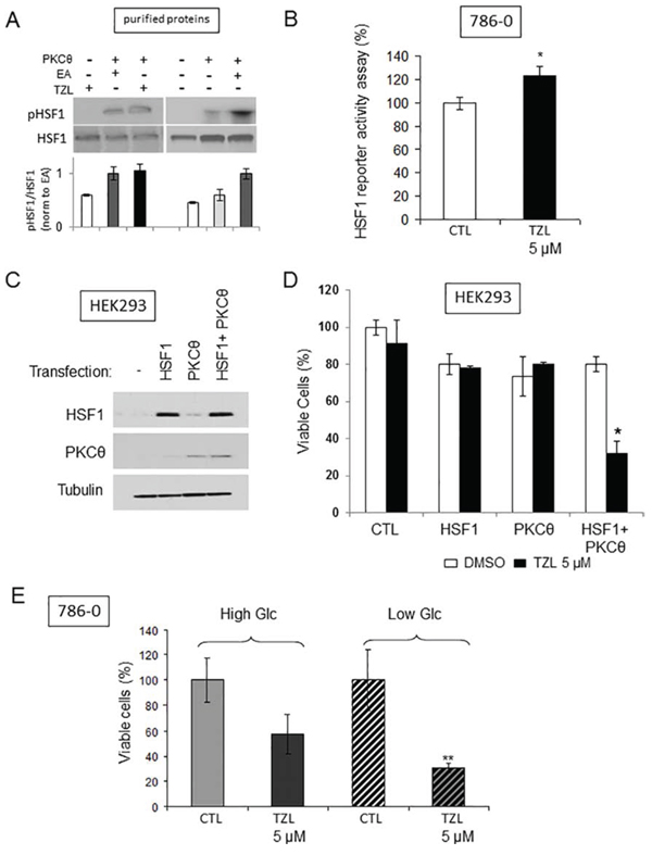 Tonantzitlolone activates HSF1 and induces glucose dependency.