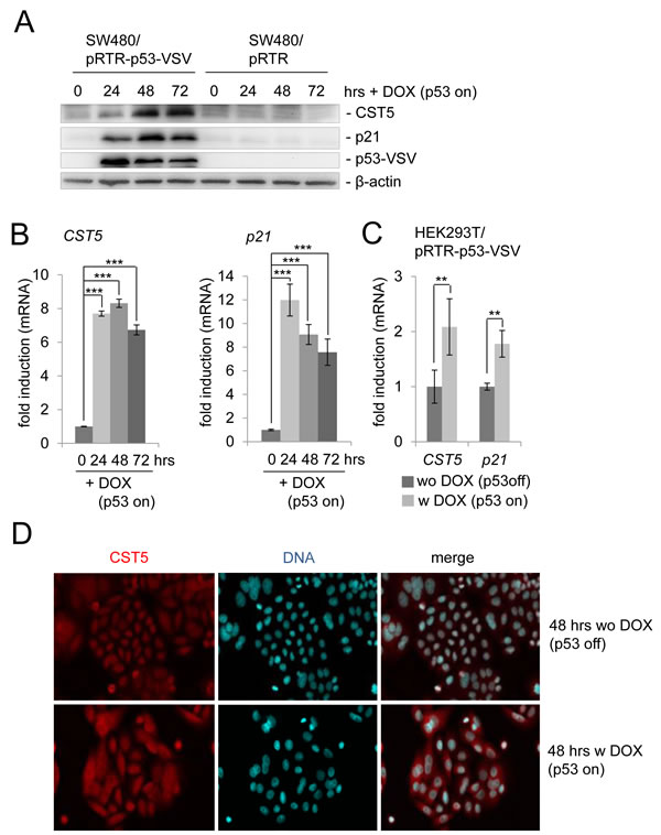 Regulation of CST5 by p53 in SW480 colorectal cancer cells.
