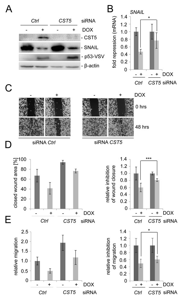 CST5 is relevant for p53-mediated MET.