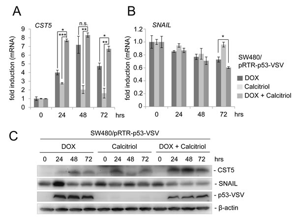 p53 activation in combination with calcitriol treatment enhances CST5 induction.