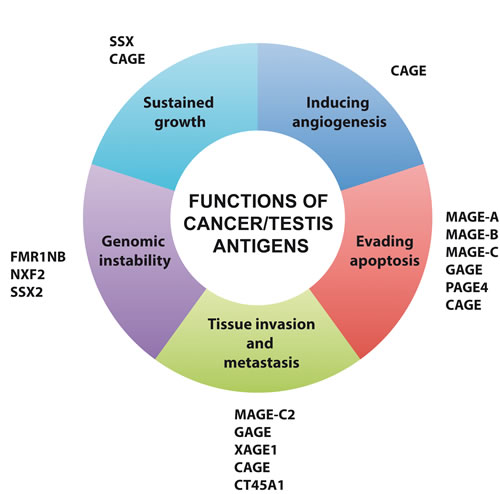 Oncogenic functions of cancer/testis antigens.