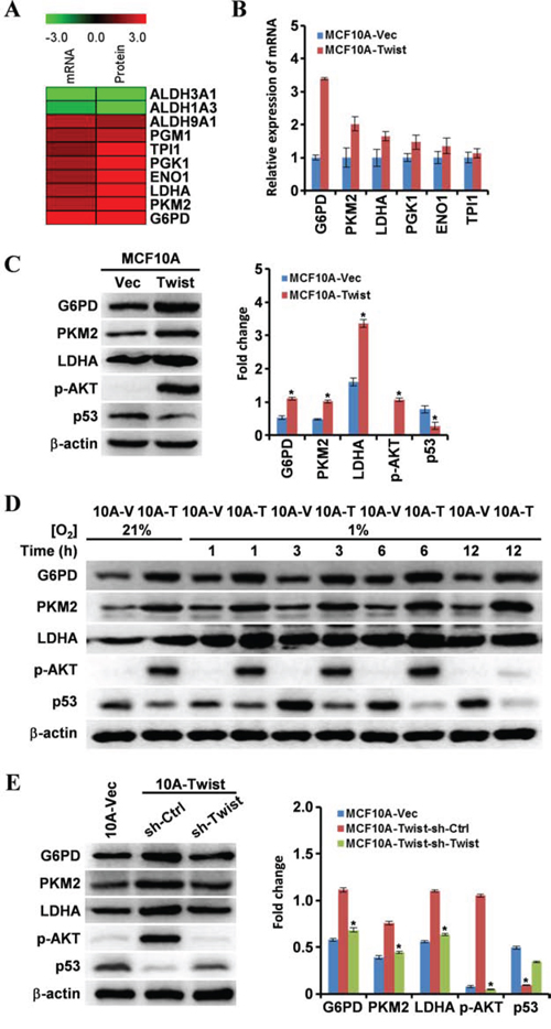 Expression of genes associated with cell energy metabolism is altered in MCF10A-Twist cells.