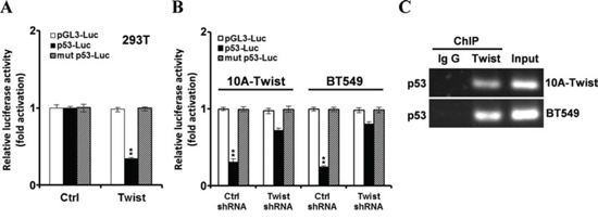 Twist inhibits p53 expression via binding to the E-box of p53 promoter.