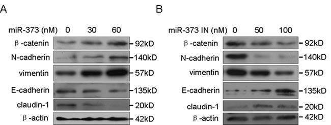 MiR-373 promotes cancer cell EMT.