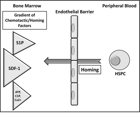 The proposed major mechanism underlying the processes of homing of HSPCs.
