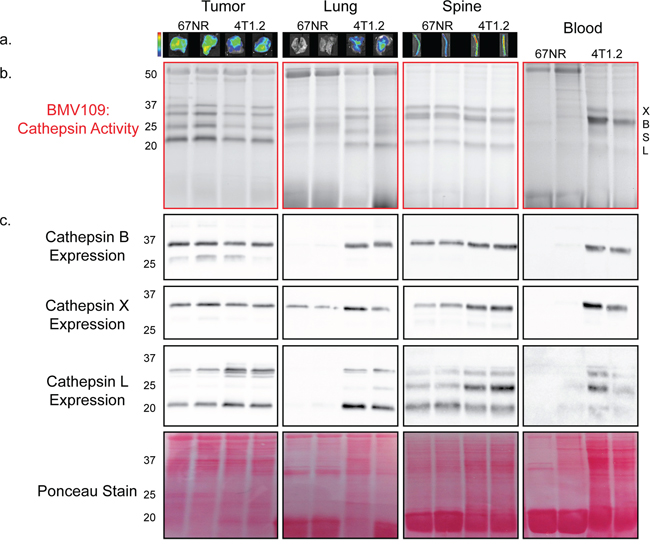In vivo characterization of cysteine cathepsin levels in tissues from tumor-bearing mice.