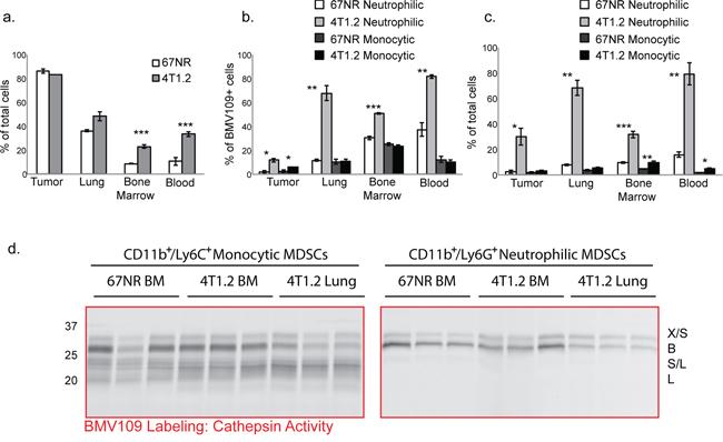 MDSCs produce active cysteine cathepsins.