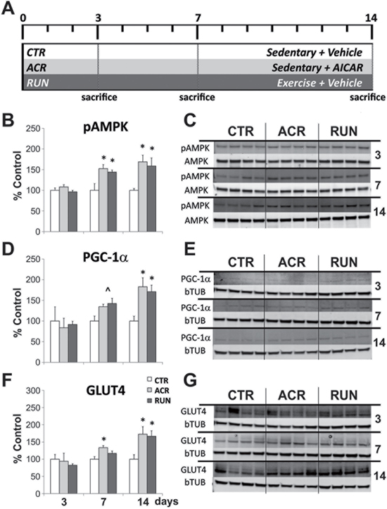 Comparison between effects of AICAR and running on expression levels of AMPK pathway components in muscle.