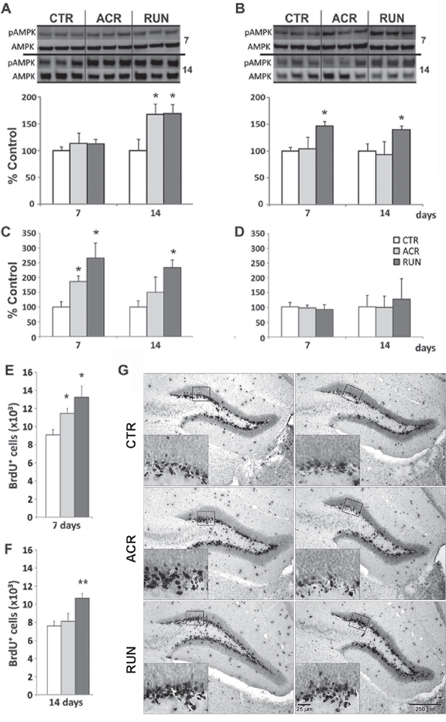 Effects of AICAR and running on AMPK activation and synaptic plasticity markers in dentate gyrus (DG) and lateral entorhinal cortex (LEC).
