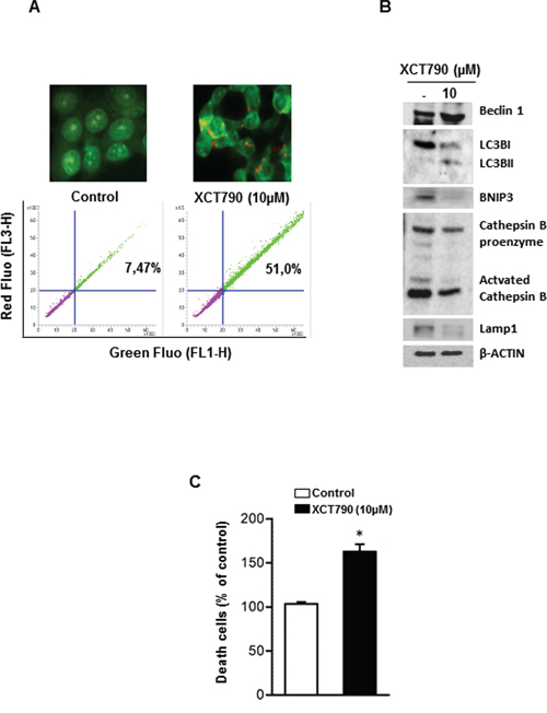 XCT790 induces necrosis in H295R cells.