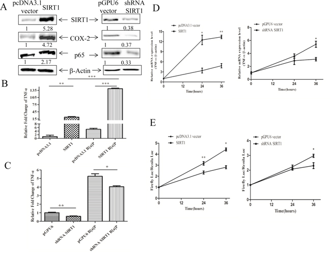 SIRT1 promoted the expression of TNF-α at transcription level.