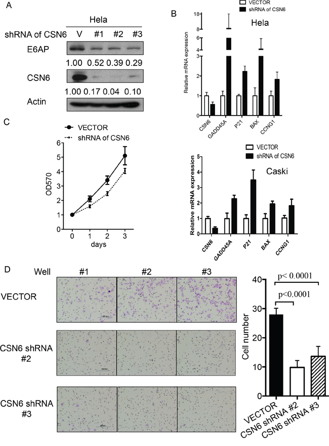 CSN6 knockdown affects E6AP-p53 axis and cell proliferation.
