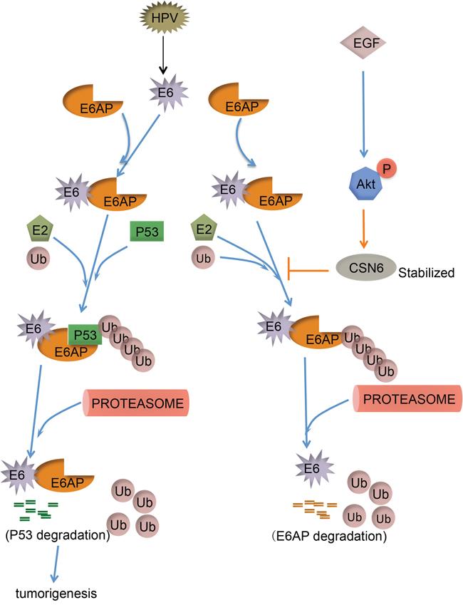 Model of CSN6 modulating E6AP stability and tumorigenesis.
