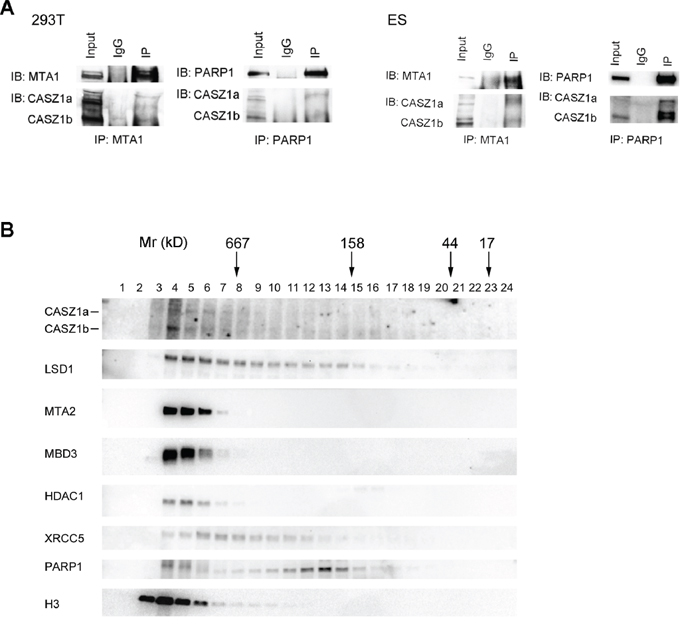 CASZ1 is associated with its protein partners in vivo.