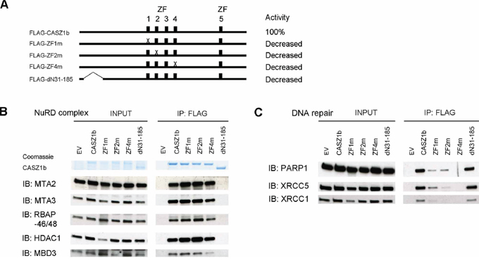 Zinc finger 1, 2 and 4 of CASZ1b is required for DNA repair proteins binding but not for NuRD subunits binding.