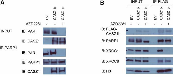 PARylation of CASZ1b is not required for histone H3 binding.