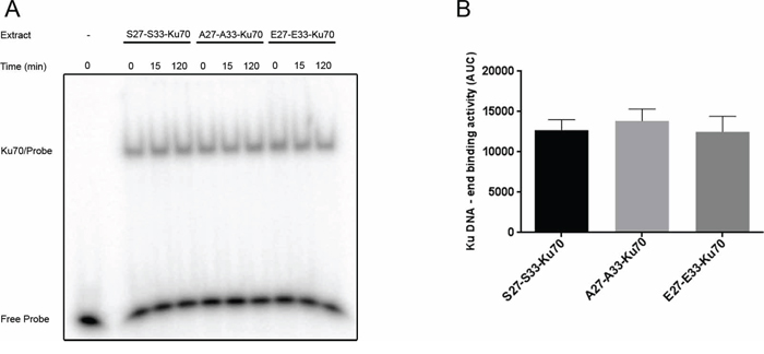 In vitro assay of Ku70/Ku80 heterodimer DNA-end binding activity.