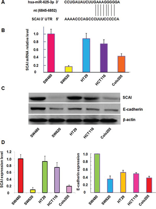 The expression of miR-625-3p, SCAI and E-cadherin was correlated in CRC cells.