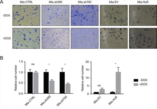 HuR promotes PDA invasion through an extracellular matrix analogue.