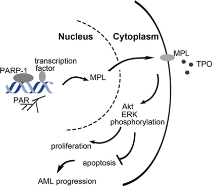 Schematic representation of the role of PARP-1 in the regulation of AML cell survival and proliferation.