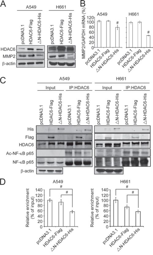 Nuclear HDAC6 inhibits MMP2 through de-acetylating NF-κB p65 subunit.