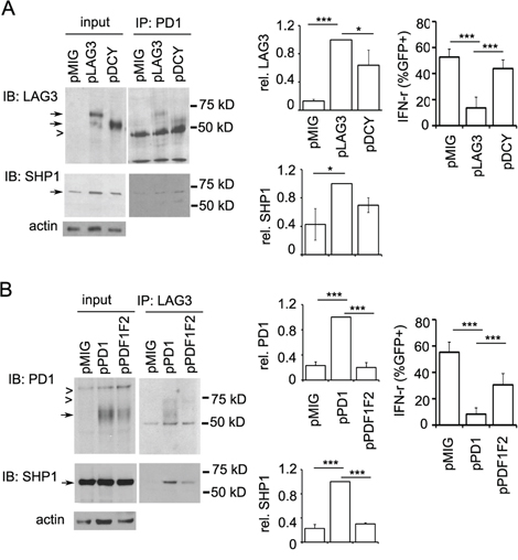 Differential contribution of the cytoplasmic domains of LAG3 and PD1 in their interaction.