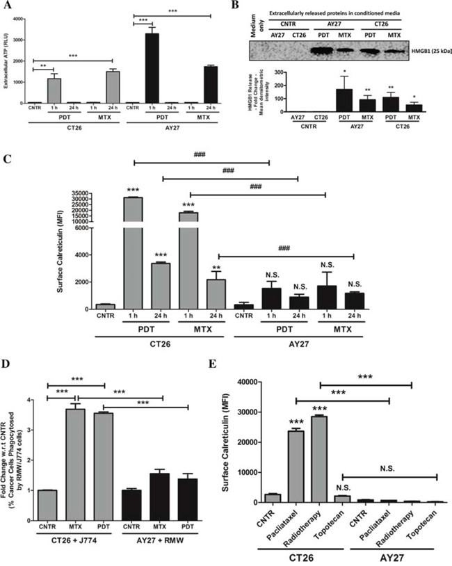 AY27 cancer cells treated with ICD inducers exhibit disruption in the ability to surface expose CRT and undergo inefficient engulfment by phagocytic cells.