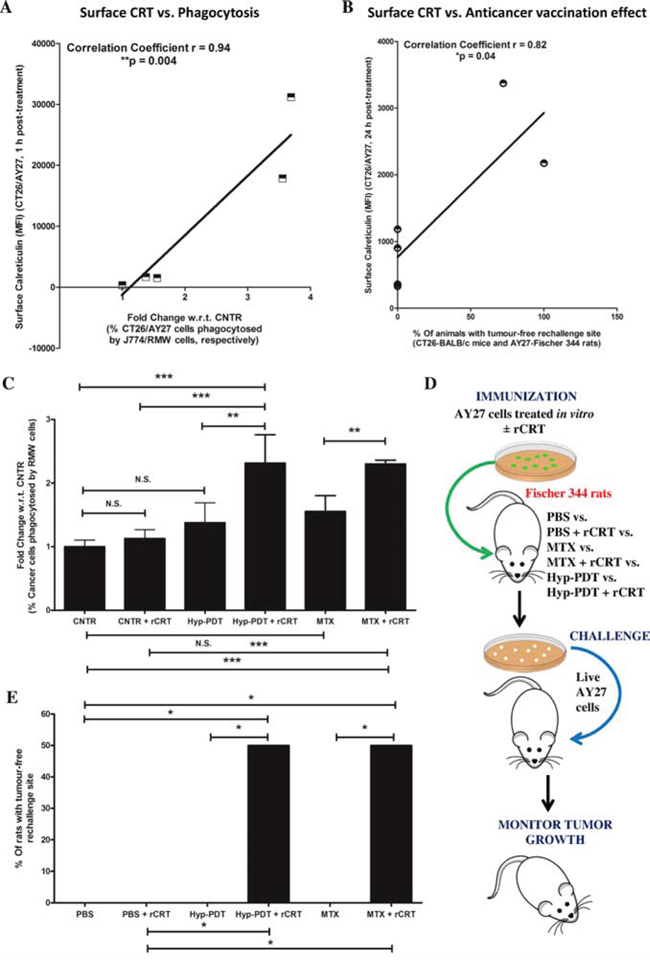 Reconstituting exogenous CRT in AY27 cancer cells, treated with ICD inducers, improves their ability to undergo phagocytosis in vitro and exhibit 'anticancer vaccination effect'.