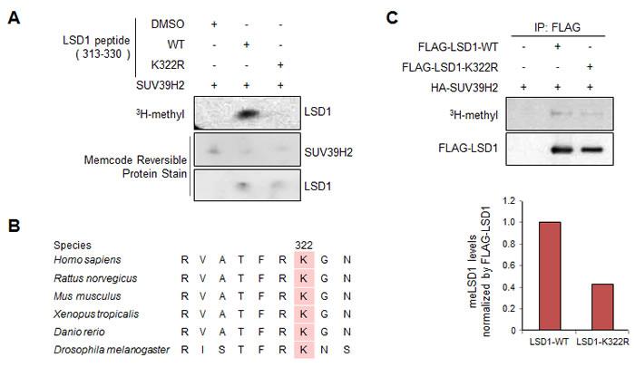 Lys 322 on LSD1 methylation by SUV39H2 both