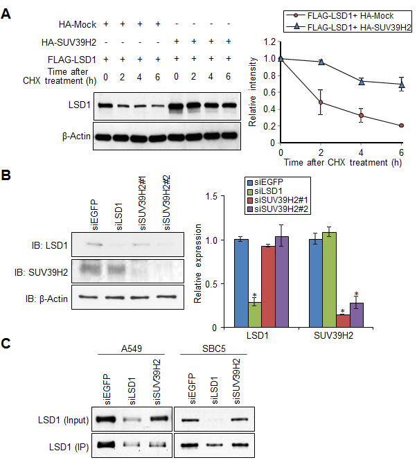 SUV39H2 stabilizes LSD1 protein.
