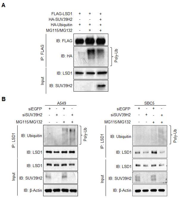 SUV39H2-dependent LSD1 methylation inhibits LSD1 protein degradation mediated by polyubiquitination.