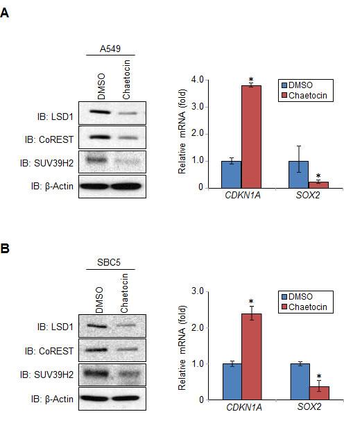 Methylation of LSD1 at lysine 322 affects LSD1 regulation of targeted genes.