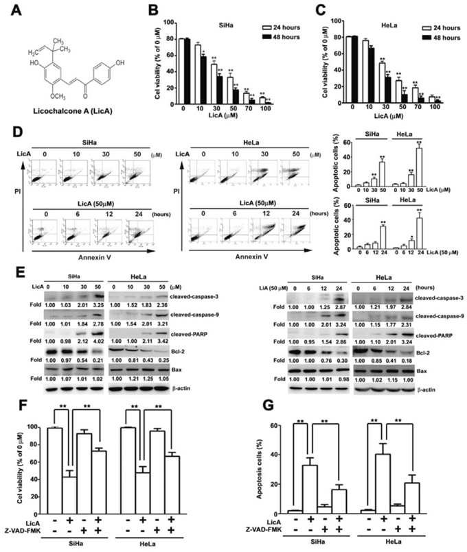 The ability of LicA to induce apoptosis in SiHa cervical cancer cells.