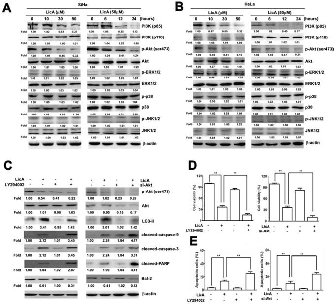 LicA induced apoptosis via the PI3K/Akt signaling pathway in SiHa and HeLa cells.