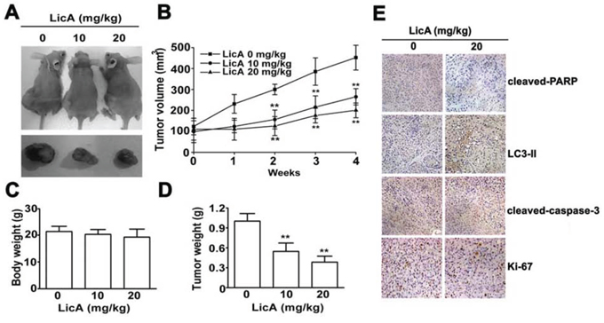 LicA inhibited the tumor progression of cervical cancer in vivo.