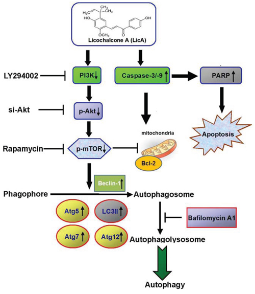 Overview of pathways for LicA-inhibited the phosphorylation of PI3K-Akt-mTOR axis and autophagy inhibition enhances LicA-induced apoptosis in human cervical cancer cells.