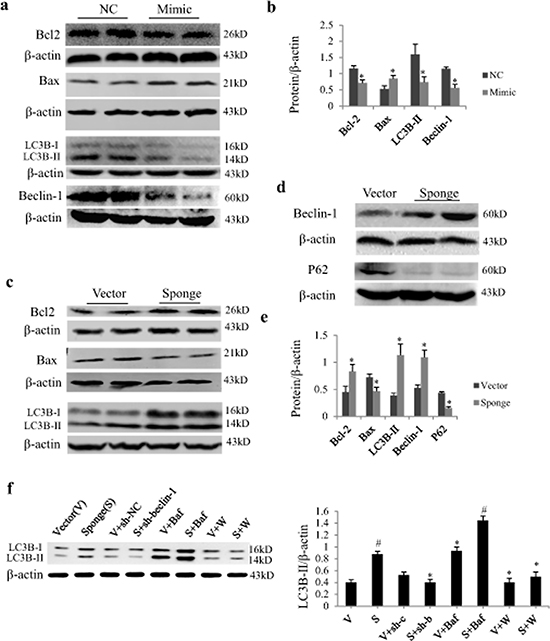 Effect of miR-497 mimic and sponge on the expression of Bcl2 and LC3B protein in neonatal rat cardiomyocytes (NRCs).