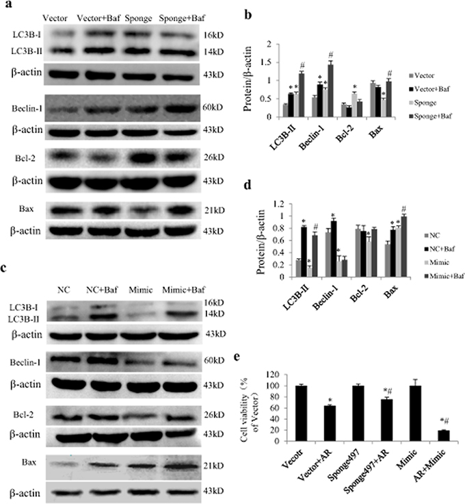 Effect of miR-497 on proteins related to autophagy and apoptosis in neonatal rat cardiomyocytes (NRCs) exposed to anoxia/reoxygenation (A/R).