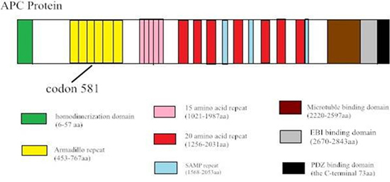 Sequence alignment shows the c.1936–2148 del in exon 14–15 of the APC gene, which creates a STOP codon at 581.