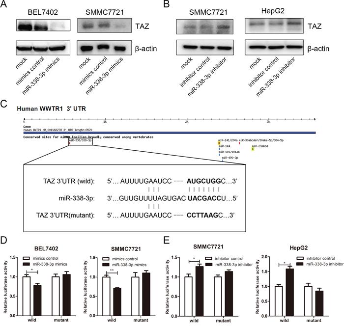 TAZ is a target gene of miRNA-338-3p.